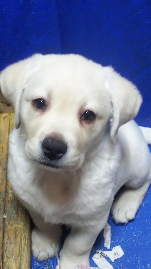 ラブラドールレトリバーの子犬(ID:1278211005)の1枚目の写真/更新日:2020-03-20