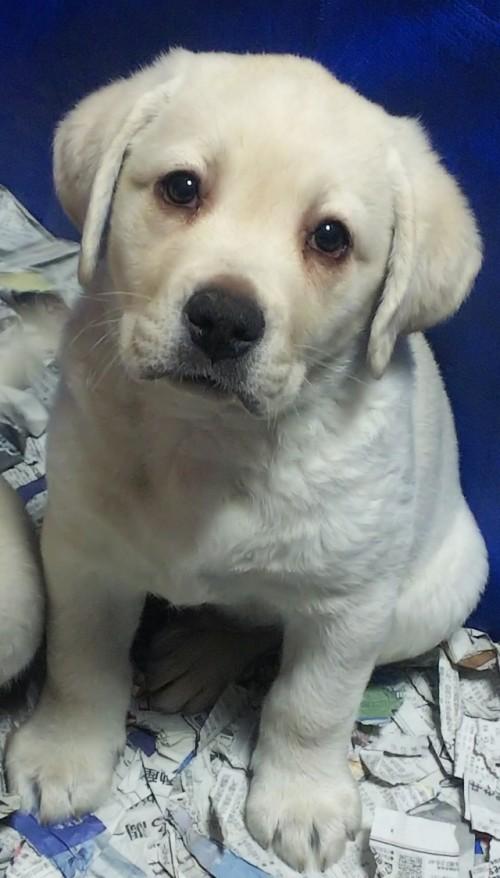 ラブラドールレトリバーの子犬(ID:1278211005)の2枚目の写真/更新日:2020-03-20