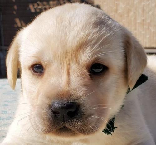 ラブラドールレトリバーの子犬(ID:1278211017)の1枚目の写真/更新日:2020-03-20