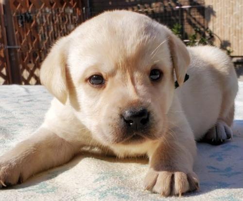 ラブラドールレトリバーの子犬(ID:1278211017)の2枚目の写真/更新日:2020-03-20