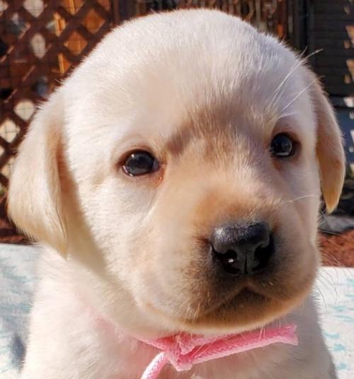 ラブラドールレトリバーの子犬(ID:1278211018)の1枚目の写真/更新日:2020-03-20