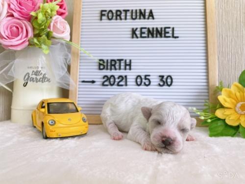 ビションフリーゼの子犬(ID:1278311001)の1枚目の写真/更新日:2019-09-14