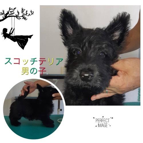 スコティッシュテリアの子犬(ID:1278311002)の1枚目の写真/更新日:2019-09-14