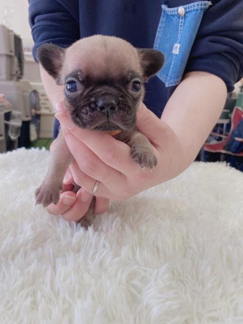 フレンチブルドッグの子犬(ID:1278311014)の1枚目の写真/更新日:2021-04-12