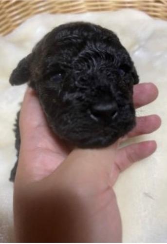 トイプードルの子犬(ID:1278411005)の1枚目の写真/更新日:2021-06-24