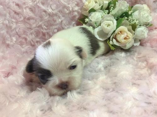 シーズーの子犬(ID:1278611001)の1枚目の写真/更新日:2019-11-19