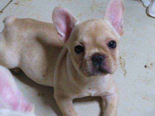 フレンチブルドッグの子犬(ID:1278811003)の1枚目の写真/更新日:2019-10-25