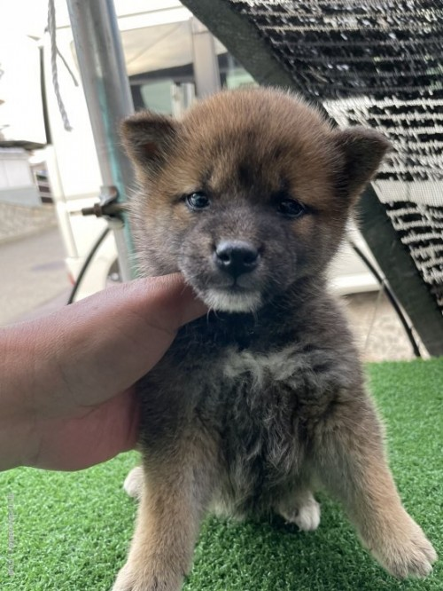 柴犬の子犬(ID:1278911004)の3枚目の写真/更新日:2021-08-12