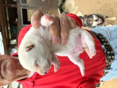 柴犬の子犬(ID:1278911005)の1枚目の写真/更新日:2020-05-04
