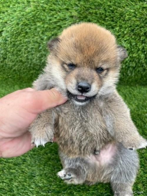 柴犬の子犬(ID:1278911008)の2枚目の写真/更新日:2021-08-12