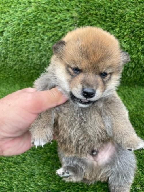 柴犬の子犬(ID:1278911008)の3枚目の写真/更新日:2021-08-12