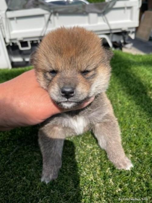柴犬の子犬(ID:1278911013)の2枚目の写真/更新日:2021-08-12