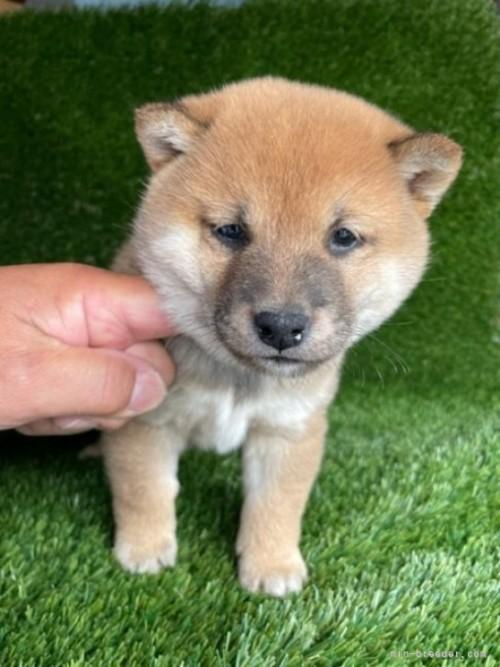 柴犬の子犬(ID:1278911022)の2枚目の写真/更新日:2021-08-26