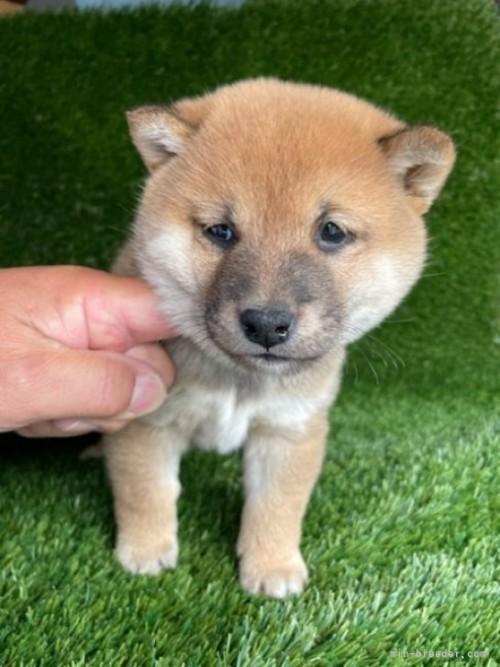 柴犬の子犬(ID:1278911022)の3枚目の写真/更新日:2021-08-26