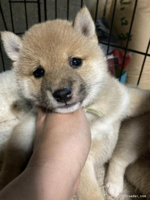 柴犬の子犬(ID:1278911023)の2枚目の写真/更新日:2021-08-12