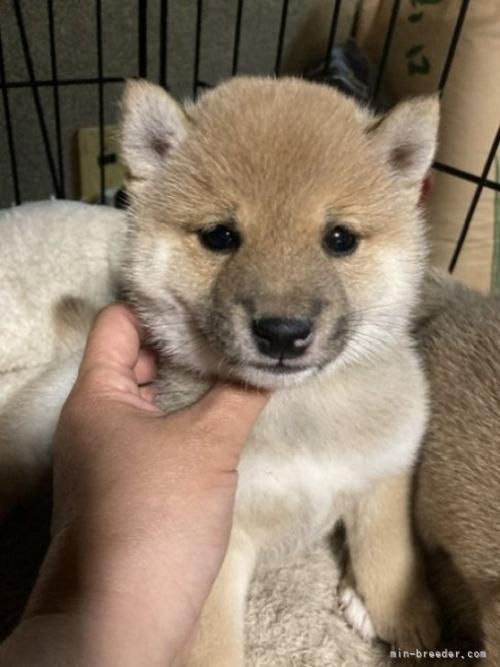 柴犬の子犬(ID:1278911023)の3枚目の写真/更新日:2021-08-12