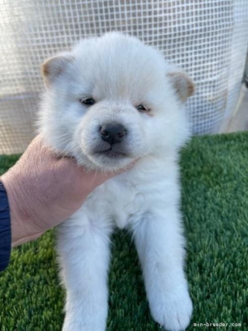 柴犬の子犬(ID:1278911028)の2枚目の写真/更新日:2021-08-12