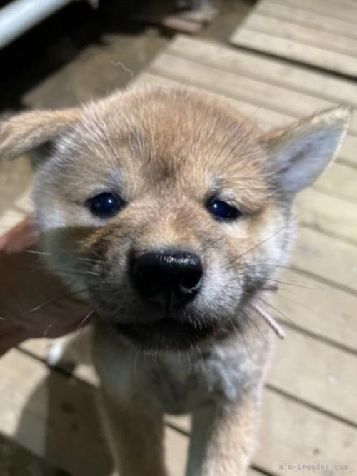 柴犬の子犬(ID:1278911031)の2枚目の写真/更新日:2021-09-18