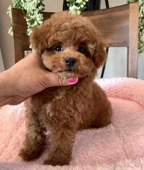 トイプードルの子犬(ID:1279311001)の1枚目の写真/更新日:2019-11-25