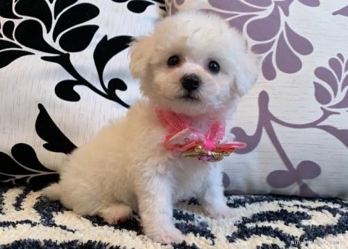 ビションフリーゼの子犬(ID:1279311010)の2枚目の写真/更新日:2020-09-16