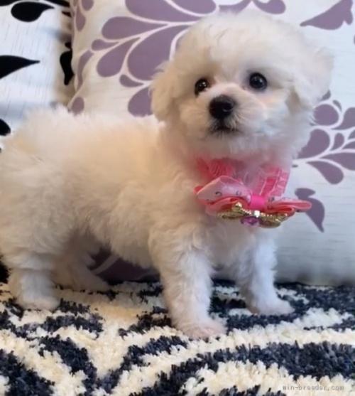 ビションフリーゼの子犬(ID:1279311010)の3枚目の写真/更新日:2020-09-16