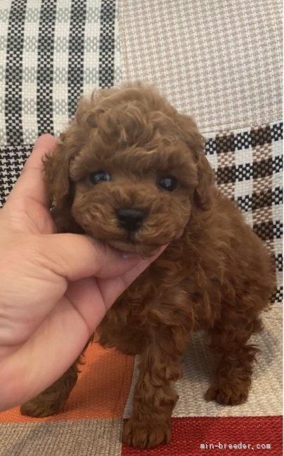 トイプードルの子犬(ID:1279311011)の1枚目の写真/更新日:2020-06-05