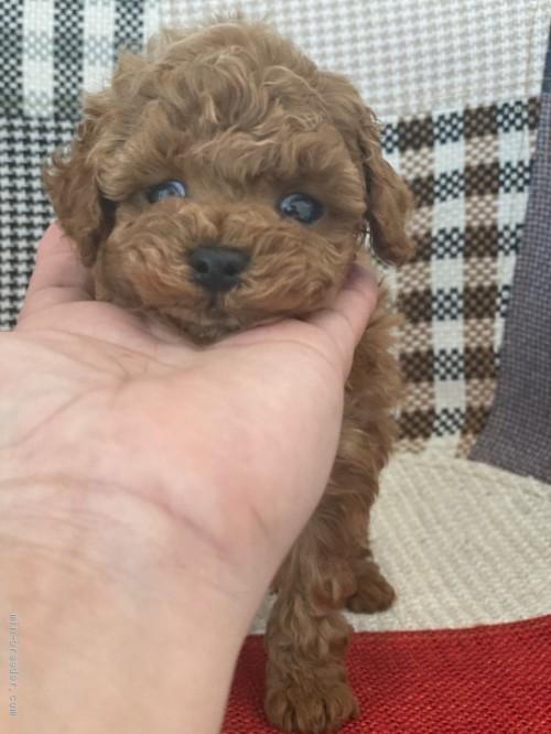 トイプードルの子犬(ID:1279311011)の2枚目の写真/更新日:2020-06-05