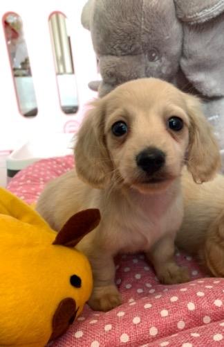 ミニチュアダックスフンド(ロング)の子犬(ID:1279311014)の1枚目の写真/更新日:2020-04-02