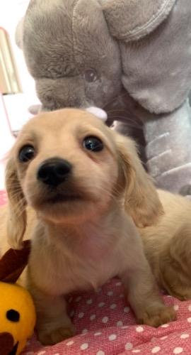 ミニチュアダックスフンド(ロング)の子犬(ID:1279311014)の2枚目の写真/更新日:2020-04-02