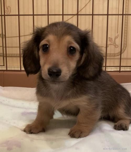 ミニチュアダックスフンド(ロング)の子犬(ID:1279311025)の1枚目の写真/更新日:2021-09-19