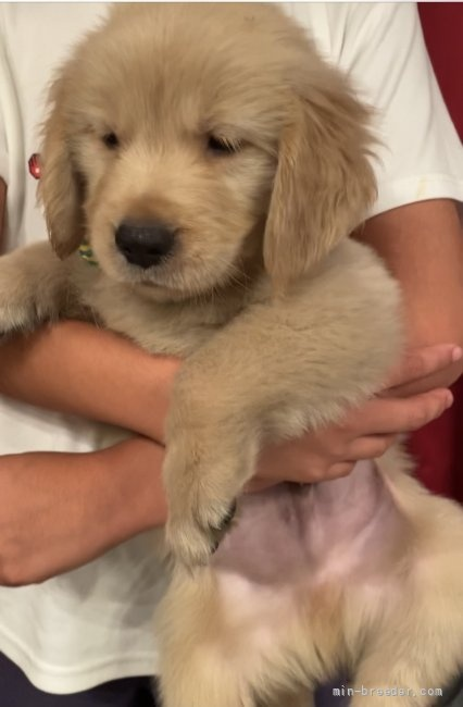 ゴールデンレトリバーの子犬(ID:1279311029)の3枚目の写真/更新日:2021-05-01