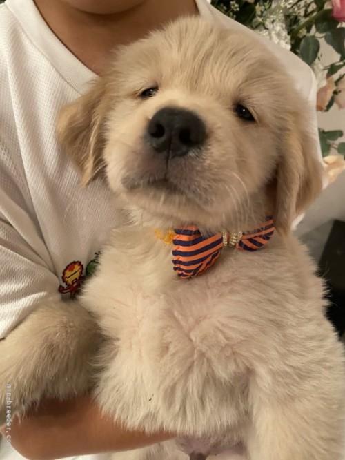 ゴールデンレトリバーの子犬(ID:1279311030)の1枚目の写真/更新日:2021-05-01