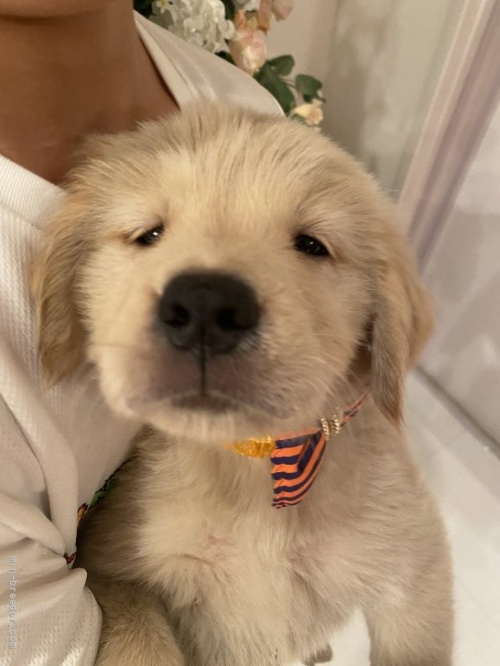 ゴールデンレトリバーの子犬(ID:1279311030)の3枚目の写真/更新日:2021-05-01