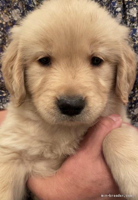 ゴールデンレトリバーの子犬(ID:1279311031)の1枚目の写真/更新日:2021-05-05
