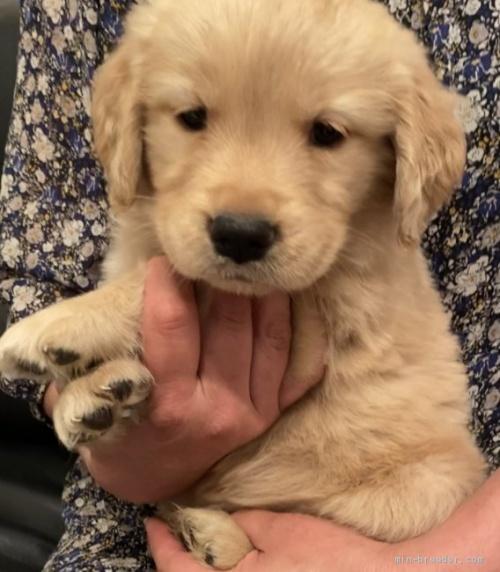 ゴールデンレトリバーの子犬(ID:1279311032)の1枚目の写真/更新日:2021-05-05