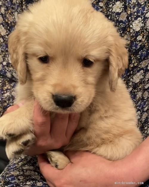 ゴールデンレトリバーの子犬(ID:1279311032)の3枚目の写真/更新日:2021-05-05