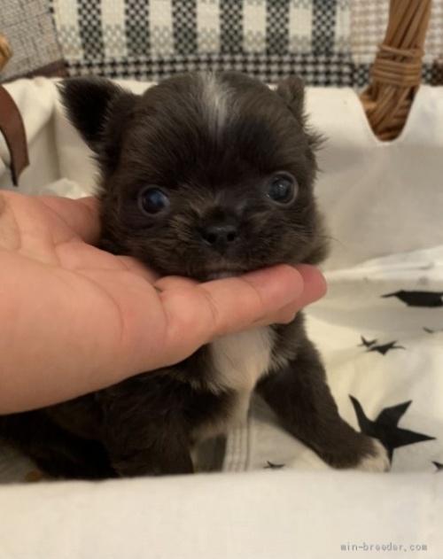 チワワ(ロング)の子犬(ID:1279311033)の1枚目の写真/更新日:2021-05-05
