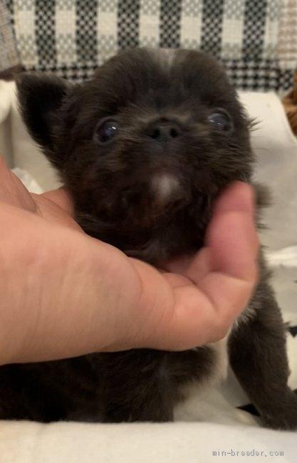 チワワ(ロング)の子犬(ID:1279311033)の2枚目の写真/更新日:2021-05-05