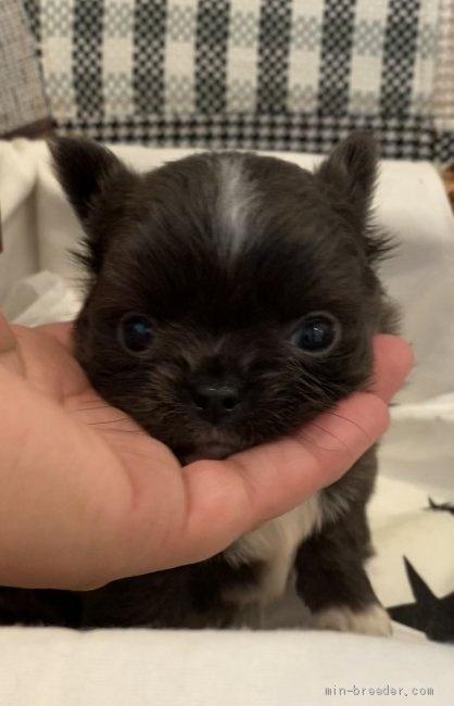 チワワ(ロング)の子犬(ID:1279311033)の3枚目の写真/更新日:2021-05-05