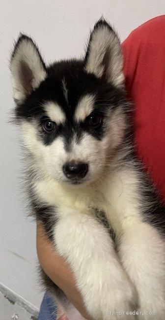 シベリアンハスキーの子犬(ID:1279311038)の1枚目の写真/更新日:2021-09-19