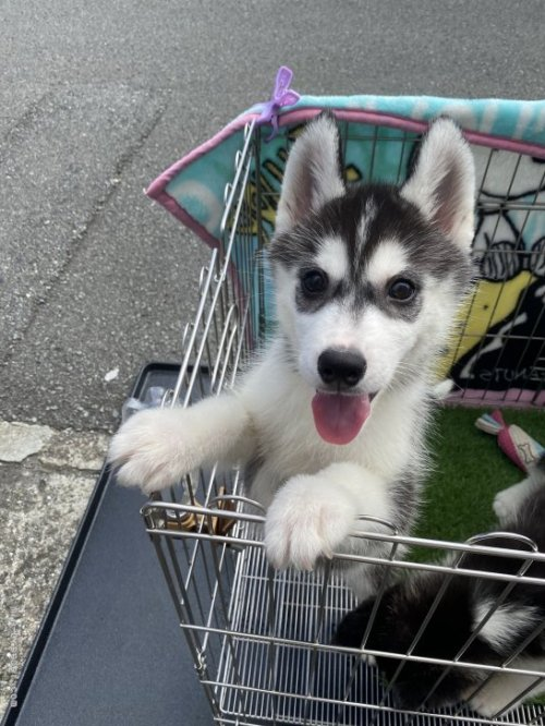 シベリアンハスキーの子犬(ID:1279311040)の3枚目の写真/更新日:2021-10-04