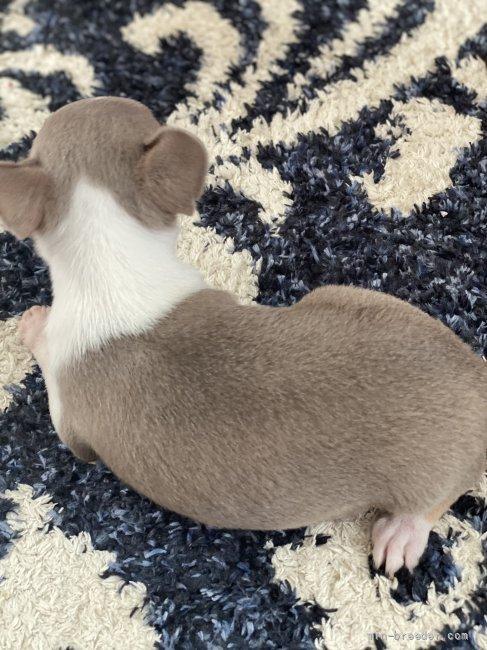 チワワ(スムース)の子犬(ID:1279311041)の2枚目の写真/更新日:2021-10-07