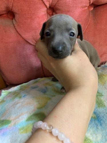 イタリアングレーハウンドの子犬(ID:1279511002)の1枚目の写真/更新日:2020-10-08