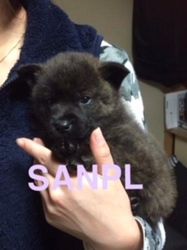 甲斐犬の子犬(ID:1279511004)の1枚目の写真/更新日:2021-03-19