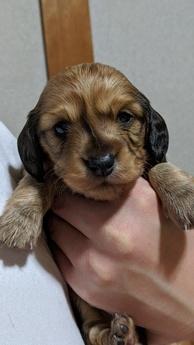 ミニチュアダックスフンド(ロング)の子犬(ID:1279811001)の1枚目の写真/更新日:2020-01-15