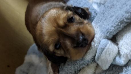 ミニチュアダックスフンド(ロング)の子犬(ID:1279811001)の2枚目の写真/更新日:2020-01-15