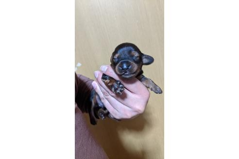 ミニチュアダックスフンド(ロング)の子犬(ID:1279811002)の1枚目の写真/更新日:2021-04-14
