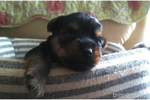 ヨークシャーテリアの子犬(ID:1280011001)の1枚目の写真/更新日:2021-08-03