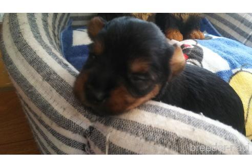 ヨークシャーテリアの子犬(ID:1280011001)の3枚目の写真/更新日:2021-08-03