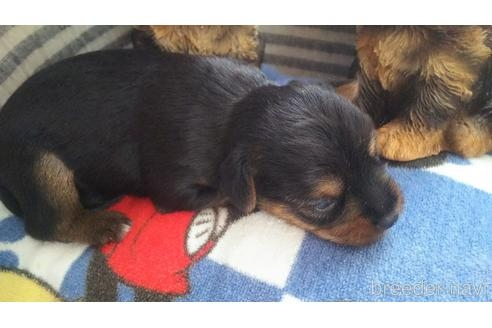 ヨークシャーテリアの子犬(ID:1280011001)の4枚目の写真/更新日:2021-08-03